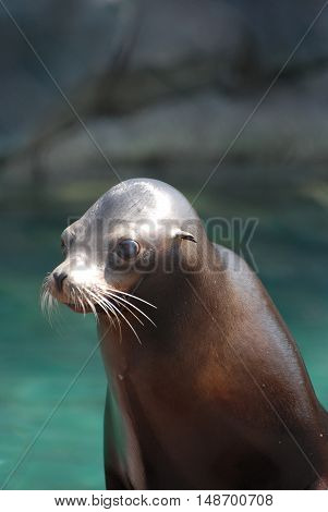 Really cute face of a sea lion.
