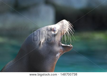 Profile of a sea lion with his mouth stretched wide open.
