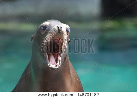 Adorable young sea lion with his mouth wide open.