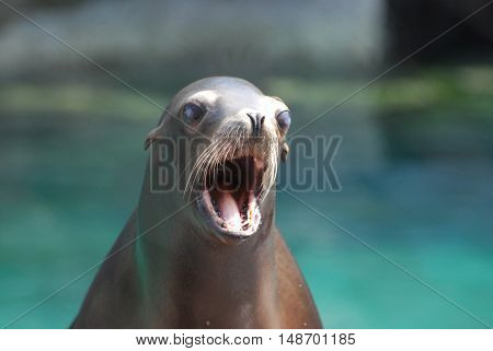 Really cute sea lion with his mouth very wide open.