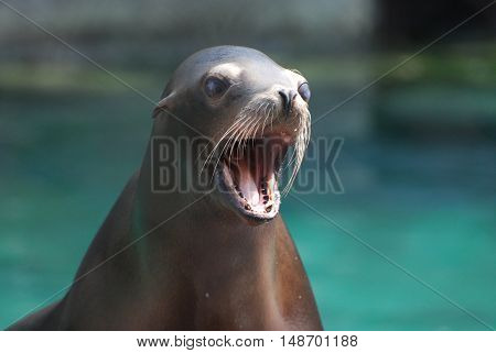 Adorable sea lion with his mouth wide open.