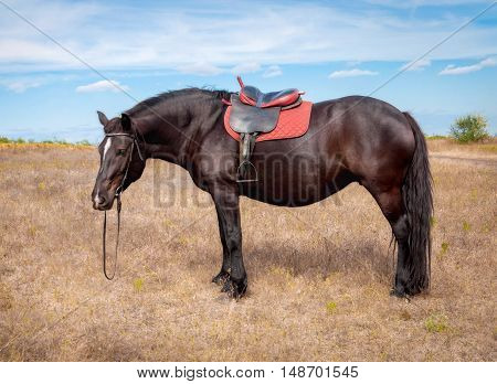 Bay horse harnessed seat ready to walk through the meadow