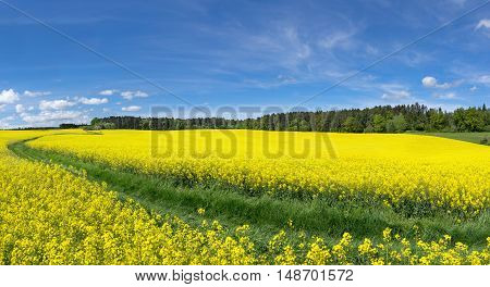 Yellow blooming rapeseed fields with meadow path near an edge of the forest