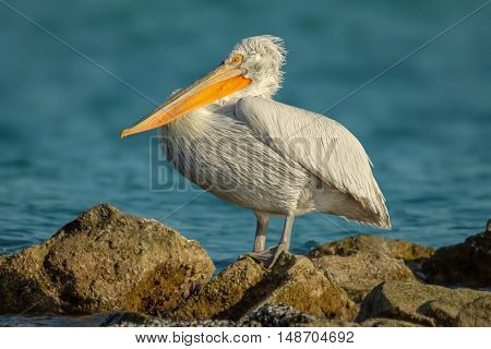 Closeup Dalmatian Pelican bird resting on the rock in front of the sea waters