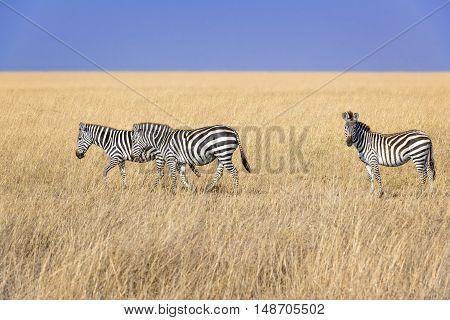 Small herd of plain zebras walk in savannah Eastern Africa