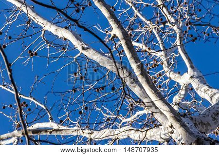 White bark American sycamore tree (Platanus occidentalis) with spiky fruit in winter against blue sky