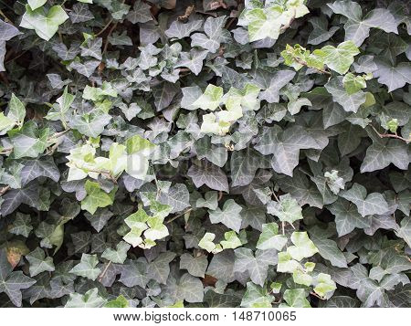 English Ivy Hedera helix On A Wall