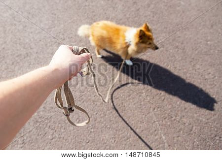 a shetland sheepdog on a leash with a hand