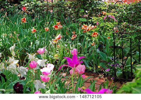 Colorful Tulips In Flowerbed In Washington Dc