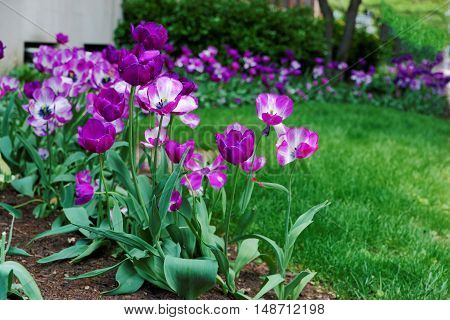Dark And Light Purple Tulips In A Flowerbed