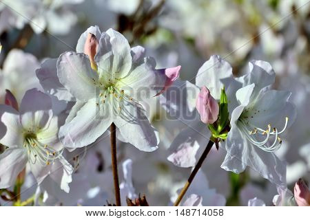 Beautiful white rhododendron flowers closeup. Spring background