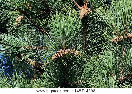 Pinus mugo. Needles and buds close up