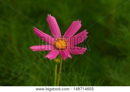 Single cosmos flower in the garden in springtime