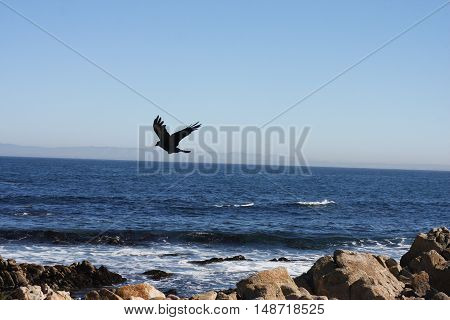 This is an image of a bird in flight over the shoreline of Pacific Grove, California.