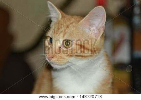 cat, red, animal, beast, Red-headed cat, kitten, tail, mustache