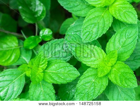 Fresh pepper mint plant at the nature