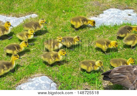 Canada Goose and goslings walking on some grass and rocks