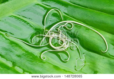Helminths Toxocara canis (also known as dog roundworm) or parasitic worms from little dog on green leaf background Pet health care concept