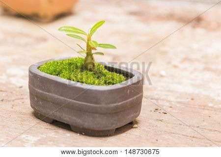 Trees in small pots on a wooden table background.