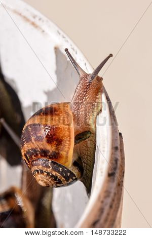 Edible Snail Escargot