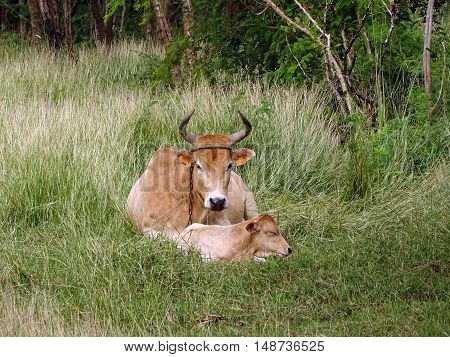 A cow with her calf in tall grass on the island of Marie Galante, Guadeloupe archipelago in the French Antilles. These bovines are of the race of Guadeloupe Creole, easily recognizable with their curved horns and uniform color.
