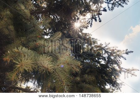 green fir-tree branches in the blue sky