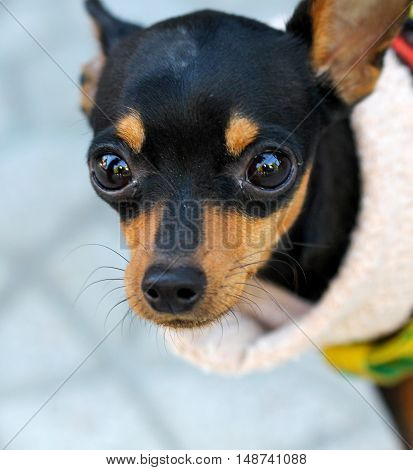 picture of a Close up Brown black doggy with big eyes