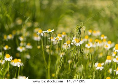 Medical daisy growing in the meadow nature
