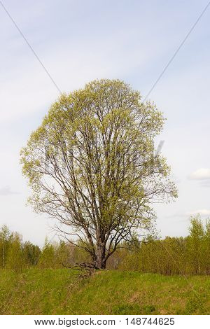 lonely tree with lush foliage in spring