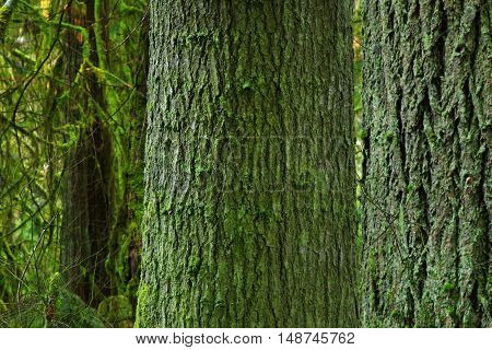 a picture of an exterior Pacific Northwest forest with mossy old growth Hemlock trees