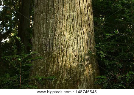 a picture of an exterior Pacific Northwest forest and a old growth Alaskan yellow cedar tree
