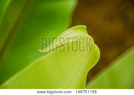 Low key and Blurred with noise photo of beauty of Asplenium nidus leaf