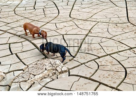 Black and brown dachshund dogs hunt in the desert background