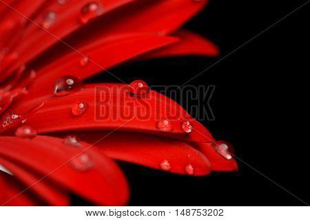 red gerbera flower close up on black background