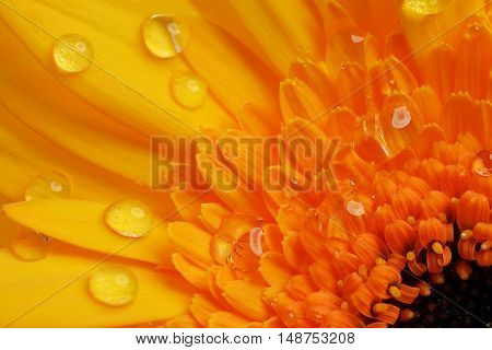 yellow gerbera flower close up as background