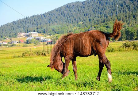little horse on green field eating fresh grass caucasus in mountains