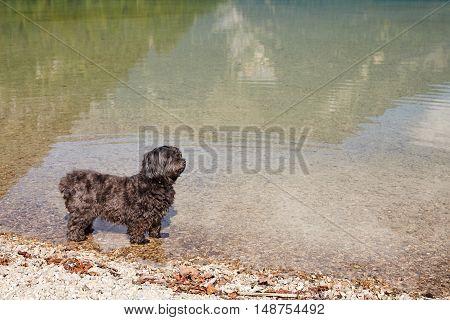 Black Havanese Dog Standing In Lake