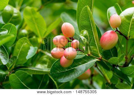The Karonda Fruit in the garden, thailand