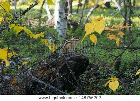 Asian Chipmunk (Tamias sibiricus) from family Sciuridae (Yakutia)