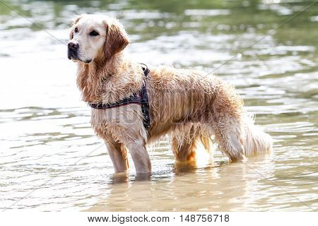 golden retriever standing on the river watching and posing