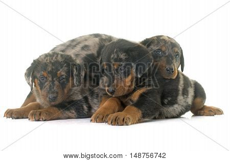 beauceron puppies in front of white background