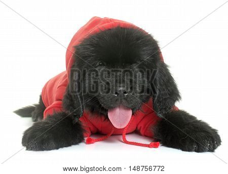 dressed puppy newfoundland dog in front of white background