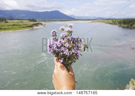 thyme bouquet in hand on the background of a mountain river