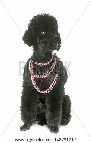 black poodle in front of white background