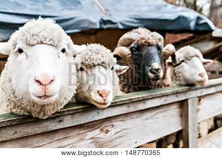 three sheep and the ram in a pen looking to those who look