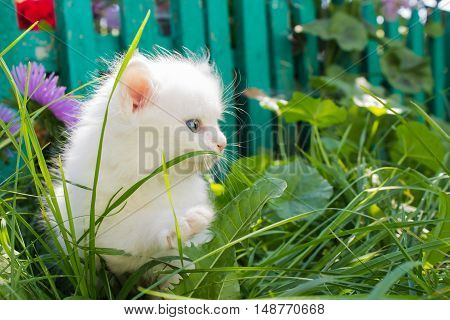 white fluffy kitten playing in the green grass