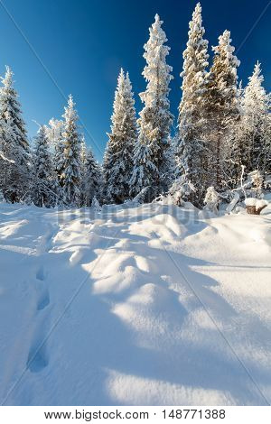 Winter forest and footsteps on the deep snow on frosty sunny day