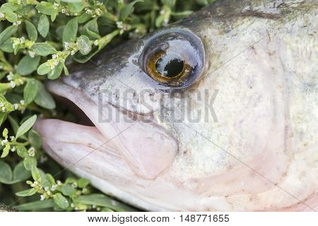 asp predatory freshwater fish on green grass close up.