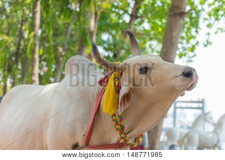 A beautiful giant white cow is crying
