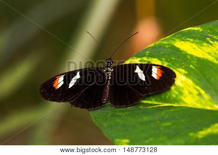 Tropical butterflies scarce bamboo page on the leaf. Macro photography of wildlife.